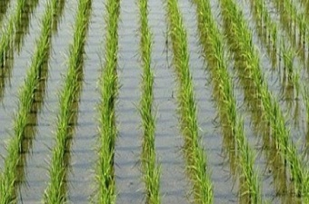 An experimental farm tries to plant the rice in the salty water in Benha University