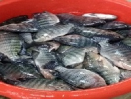 The faculty of agriculture sells its production of fish with a lower cost to the citizens